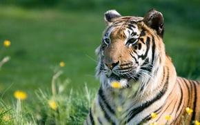 Картинка лето, трава, морда, полоски, тигр, хищник