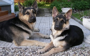 Картинка ветка, серые, пара собак, Восточноевропейская овчарка