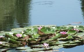Картинка листья, вода, пруд, Кувшинка