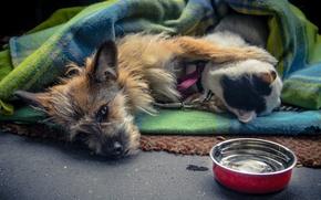 Картинка кот, любовь, вместе, собака, одеяло, миска, лежат
