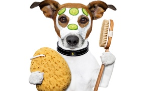 Картинка собака, юмор, лапы, маска, белый фон, ошейник, крем, дольки, щетка, огурцы, Джек-рассел-терьер