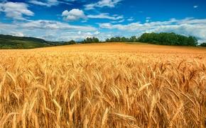 Картинка пшеница, небо, поле, облака, деревья, колосья, лес