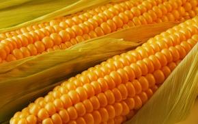Картинка листья, початок, Кукуруза