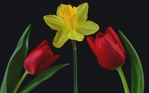 Картинка листья, фон, тюльпан, лепестки, нарцис