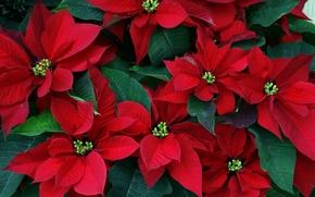Картинка листья, цветы, красные, пуансетия, рождественская звезда