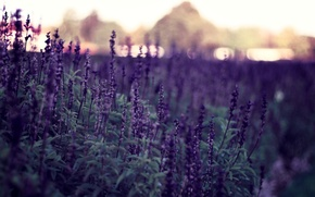 Обои цветы, природа, фон, обои, картинки, растения, вечер, фиолетовые, wallpapers, боке