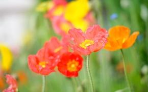 Картинка цветок, лето, свет, оранжевый, красный, яркий, зеленый, тепло, розовый, поляна, цвет, мак, лепестки, полевой