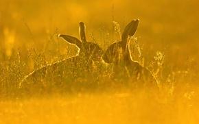 Обои русак, трава, природа, поле, заяц, пара