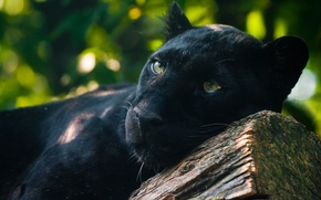 Обои наблюдает, лежит, хищник, чёрная пантера