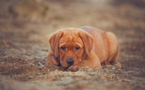 Обои Лабрадор-ретривер, взгляд, щенок, собака, песок