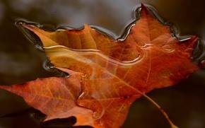 Картинка вода, макро, природа, лист, кленовый
