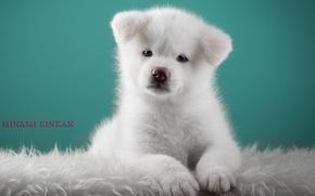 Картинка щенок, милый, японская акита, белый