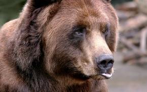 Картинка глаза, взгляд, морда, шерсть, нос, медведь, мишка, зверь, уши, губа