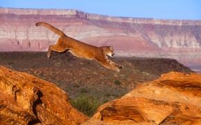 Картинка кошка, природа, прыжок, пума, горный лев, кугуар