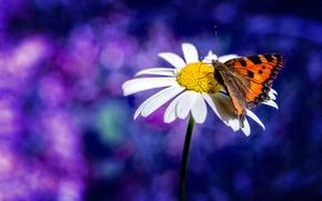 Картинка бабочка, размытие, ромашка, боке