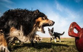 Картинка собаки, злость, Австралийская овчарка, Бордер-колли, Аусси