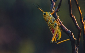 Картинка close-up, yellow, macro, bokeh, branch, insect, grasshopper