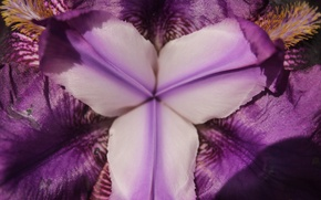 Картинка фиолетовый, макро, цветы, желтый, природа, весна, май, ирис