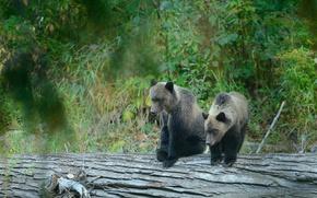 Картинка лес, медведи, бревно, медвежата, гризли