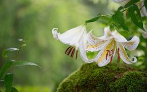 Картинка макро, мох, лилия, лепестки