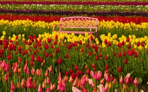 Обои фестиваль тюльпанов, Woodburn, Вудберн, разноцветные, скамейка, Орегон, тюльпаны, Oregon, бутоны