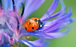 Картинка цветок, макро, синий, природа, божья коровка, жук, лепестки, насекомое, василек