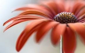 Обои макро, цветок, природа
