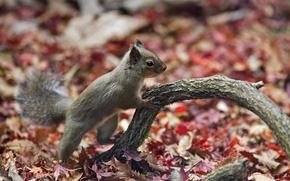 Картинка листья, ветка, белка, forest, autumn, Squirrel, beautiful nature wallpapers, осенний лес, animal planet, desktop wallpapers