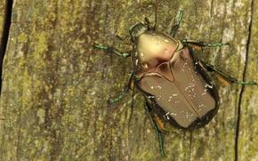 Картинка макро, дерево, жук, насекомое, кора, бронзовка, обои от lolita777