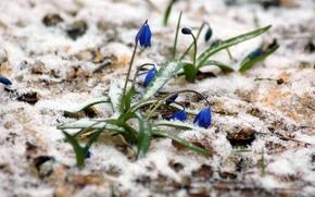 Обои пролески, весна, март, снег, лес