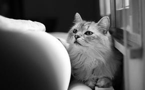 Картинка кошка, кот, шерсть, черно-белое, смотрит