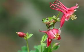 Картинка макро, цветы, лягушка, квакша, древесница