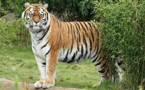 Картинка кошка, трава, тигр, куст, амурский