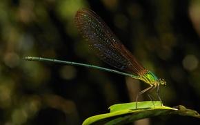 Картинка стрекоза, травинка, цветные крылышки