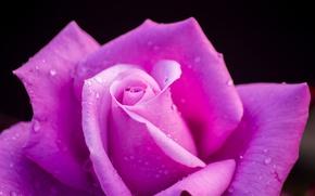 Обои капли, макро, роза, лепестки, бутон, чёрный фон