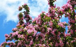 Картинка цветы, весна, цветение, яблони, цветения яблони