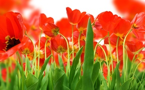 Картинка зелень, Поле, красных, тюльпанов