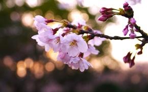 Картинка макро, свет, цветы, природа, вишня, блики, ветка, весна, лепестки, размытость, сакура, розовые