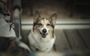 Картинка Dog, Look, Sit