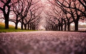 Картинка город, улица, Cherry Blossom Snow
