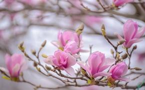 Обои макро, ветка, магнолия, весна, розовый