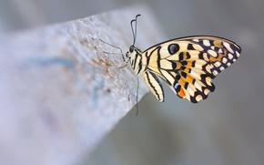 Картинка макро, бабочка, Lime Butterfly, лимонный парусник демолей