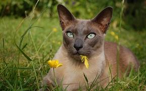 Обои кошка, взгляд, пёрышко, Тонкинская кошка, трава, цветок