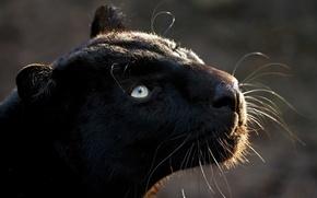 Картинка кошка, хищник, пантера, взглеад
