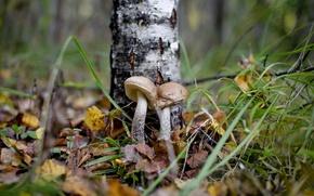 Картинка осень, лес, грибы, подберёзовик