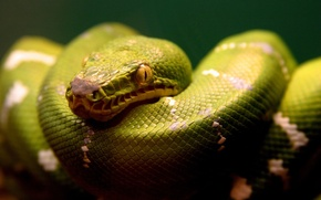 Обои змея, Зеленый