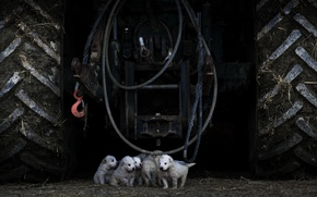 Картинка собаки, щенки, трактор
