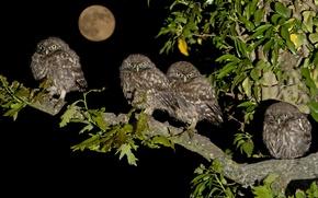Картинка птицы, ночь, луна, ветка, птенцы, семейство, домовые сычи