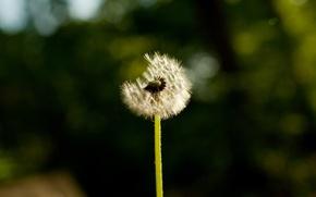 Картинка цветы, природа, фотографии, макро одуванчики