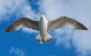Обои облака, небо, птица, размах, полет, чайка, крылья, перья